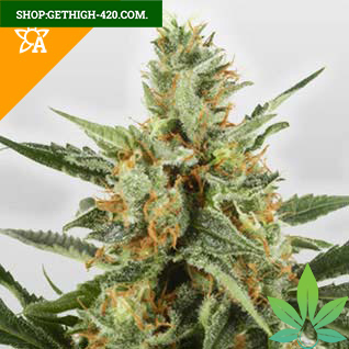 Skunk Automatic Seeds