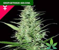 Mix Feminized Seeds