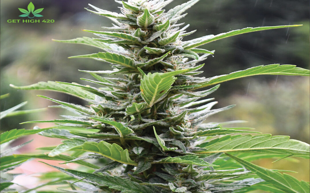 Hydro Weed Strains: Profitable Hydro Strains of Marijuana